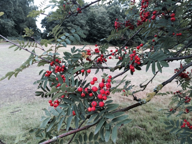 Rowan Tree Berries on Wimbledon Common