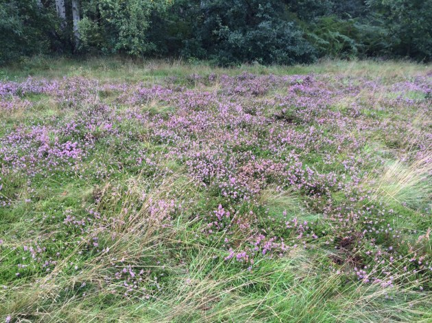 Purple Heather in Bloom on Wimbledon Common